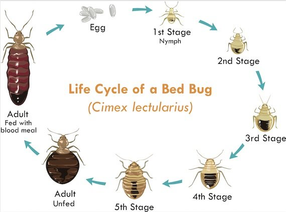 bed bug life cycle Picture